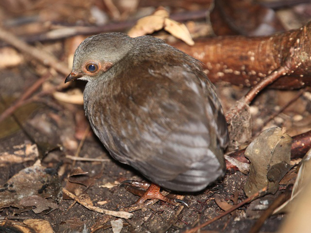 Tabon Megapode, a type of bird in Pulau TIga